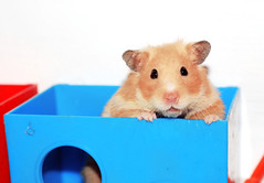 """My """"little"""" girl Tofi (pyza*) Tags: pet girl animal monster rodent furry critter fluffy hamster syrian hammie syrianhamster chomik tofcia tofinka"""