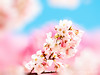 Cherry Blossoms (紅襪熊(・ᴥ・)) Tags: park travel pink flowers trees light sky white plant flower macro tree castle nature japan garden cherry spring blossom bokeh blossoms sigma olympus apo 桜 cherryblossom 日本 sakura cherryblossoms 新宿御苑 花 f28 cherrytree e30 cherrytrees 櫻花 春 櫻 cherryblossomfestival さくら 花見 サクラ 粉紅 150mm sigma150mmmacro 粉 sigma150mmf28 賞櫻 150mmf28 sigmamacro150mmf28 sigmaapomacro150mmf28