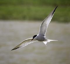 Common Tern Sterna hirundo (DickieK) Tags: bird fly flight wing feather grace tern commontern sternahirundo elmley elmleynaturereserve elmleymarsh