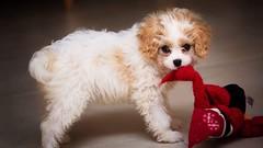 Fifi (Pat Kelleher) Tags: cute puppy puppie cavachon