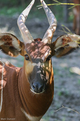 234A9704.jpg (Mark Dumont) Tags: animals mammal zoo mark cincinnati bongo dumont