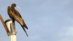 Puerto Baquerizo Moreno, San Cristbal, Galapagos (ser_is_snarkish) Tags: galapagos frigatebird sancristbal puertobaquerizomoreno