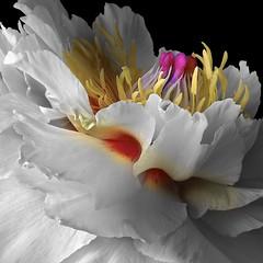 Peony (Pixel Fusion) Tags: flower macro nature flora nikon peony d600