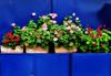 Besos-geranios de fin de semana (Helena de Riquer) Tags: flowers blue flores topf25 azul interestingness topf50 topf75 blu sony bleu lonelyplanet blau geranium topf100 macetas flowerpots flors carlzeiss geraniaceae peñíscola geranios geranis comunidadvalenciana géranium 2011 100faves testos peníscola comunitatvalenciana nationalgegraphic sonydsch20 provinciadecastellón helenaderiquer