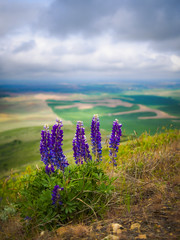Steptoe Lupine (RobertCross1 (off and on)) Tags: flowers portrait grass clouds landscape washington spring farm olympus pacificnorthwest fields wa wildflowers whitman lupine omd palouse steptoebutte 20mmf17panasonic em5mkii