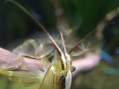 Bamboo Shrimp macro photo (KingNige1) Tags: macro tropical bambooshrimp iphone6 momentlens