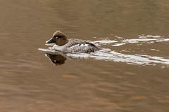 SLN_1602769 (zamon69) Tags: bird water animal se duck skne sweden vatten djur fgel skralid