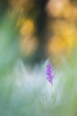 Sauvage (YannW) Tags: flower nature fleur canon bokeh 300mm orchide 6d sauvage orchis mayenne