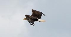 Determination (BKHagar *Kim*) Tags: sky usa bird america flying al wings nest eagle alabama flight feathers icon raptor huge eagles defending onthenest bkhagar