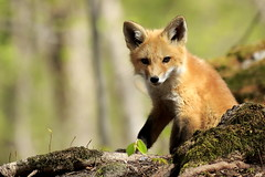 Still looking for kits in Eastern Ontario :) (mike.norkum@gmail.com) Tags: fox kits redfox foxden foxkit