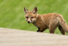 Red Fox Kit (rishaisomphotography) Tags: cute furry fuzzy wildlife fox redfox vulpesvulpes babyanimal wildlifephotography naturephotographer foxkit redfoxkit