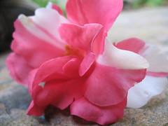 Flower (TessiaI) Tags: pink white flower whiteflower cool pretty floor ground petal sidewalk pinkflower
