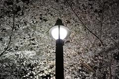 White Night (guen-k) Tags: sigma  cherryblossom sakura fullbloom dp2quattro