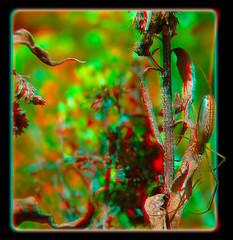 Web Spider, Possibly a Long-jawed Orb Weaver, Tetragnathidae - Anaglyph 3D (DarkOnus) Tags: macro closeup insect lumix spider stereogram 3d pennsylvania framed web orb anaglyph panasonic stereo weaver stereography buckscounty oof oob tetragnathidae longjawed ttw dmcfz35 darkonus