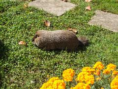 Mmmm grubs are yummy! (avatarsound) Tags: animal rodent wildlife woodchuck groundhog whistlepig