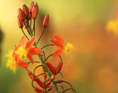 Oranges and Lemons (acwills2014) Tags: flowers orange macro beautiful madeira