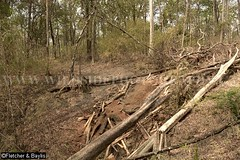 39334 Illegal logging of riparian forest for luxury hardwoods, Phnom Prich Wildlife Sanctuary, Mondulkiri, Cambodia. (K Fletcher & D Baylis) Tags: plant tree flora asia cambodia timber hardwood indochina poaching mondulkiri riparianforest illegallogging luxurywood drydeciduousforest march2016 phnomprichwildlifesanctuary