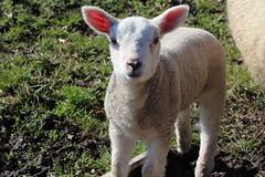 Oh my Baby Lamb (excellentzebu1050) Tags: animal closeup outdoor farm newborn lamb lambs newlife animalportraits coth5 lambs2016april
