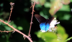 Black and blue (TJ Gehling) Tags: butterfly insect blackberry lepidoptera elcerrito swallowtail papilionidae pipevineswallowtail battusphilenor battus canyontrailpark