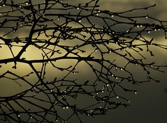 Spring Weather..x (lisa@lethen) Tags: cloud rain weather silhouette droplets drops spring branches sleet