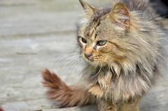 Crying Cat (eleonora_cicoria) Tags: animal cat crying campagna meow aprile gatto lombardia micio morbegno sondrio gatido