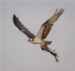 Housekeeping Chores (tresed47) Tags: birds us newjersey content places folder osprey takenby 2016 peterscamera petersphotos canon7d ebforsythenwr 20160414newjerseybirds 201604apr
