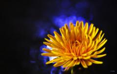just dandy (gshaun12) Tags: blue flower macro nature closeup weed bokeh flickrsbest fantasticnature macrodreams