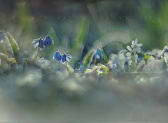 Finding Spring (Franci Van der vyver (Carmen Tulum)) Tags: spring frost scilla squill scillasiberica siberiansquill bluets springfrost whitesquill bluescilla