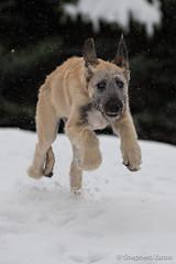160430 Erynn 15 weeks-43-Edit (Shepherd) Tags: snow puppy spring colorado wheaton littleton wolfhound irishwolfhound 15weeks erynn nikkor70200mmf28 nikond4s seaton