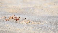 Camouflage (Bill McBride Photography) Tags: beach nature canon eos sand florida wildlife ghost crab atlantic camouflage april fl cocoa crustacean cocoabeach 2016 ghostcrab 70d ef100400l ocypodequadrata