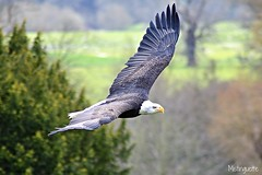 American Bold Eagle (mistinguette.mistinguette) Tags: bird flying eagle flight birdsofprey