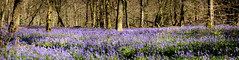 Bluebell Panorama (4orty7even) Tags: morning blue trees england panorama sunlight plant colour nature beautiful bluebells sunrise woodland landscape outside countryside spring still woods flora solitude quiet natural unitedkingdom country peaceful fresh surrey gb april tranquil flowersplants whitedown molevalleydistrict xt1201604287253