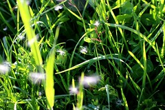 légèreté (wood.happen) Tags: plant green nature grass weed softness dandelion delicate pissenlit