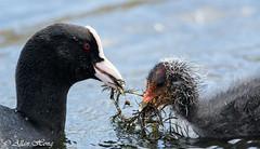 DSC_7054 (Computerman89) Tags: food baby bird water duck parent coot