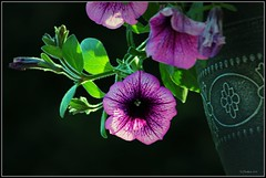 Hanging Basket (CanMan90) Tags: flowers home closeup backlight sisters canon garden purple britishcolumbia victoria vancouverisland pot hangingpots flowerbaskets rebelt3i efs55250mmf456isstm