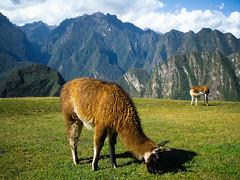 Alpagas, Machu Picchu, Peru (nicolas.paidassi) Tags: peru machu picchu alpagas