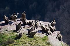 ItsusikoHarria-50 (enekobidegain) Tags: mountains montagne vultures monte euskalherria basquecountry bui pyrnes pirineos mendia buitres paysbasque nafarroa pirineoak bidarrai saiak vautours itsasu itsusikoharria