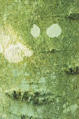 Paper Birch (Betula papyrifera) (wackybadger) Tags: tree wisconsin nikon bark lichen doorcounty betulapapyrifera rockislandstatepark wisconsinstatepark paperbirch nikond60 wisconsinstatenaturalarea nikon1855mmf3556gafsvr rockislandwoodssna sna382