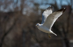 Motion (markupnorthcanada) Tags: white lake bird water nikon feeding seagull gull shoreline lakeshore 28 aquatic lakeontario tamron 70200 searching ion portcredit d7100