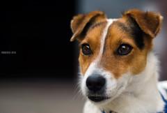 Ettore (Fabio Caf) Tags: dog cane 50mm jackrussel primopiano cani pastore ohmydog mondoanimale nikond7000 petteraphy