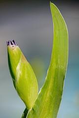 Iris Scythe (brev99) Tags: iris flower nature garden bokeh bud d7100 topazdenoise tamron180f35 topazdetail