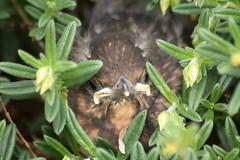 Merle noir Turdus merula Blackbird (aigledayres) Tags: turdusmerula blackbird merlenoir