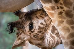 Self-Service Milk Bar (helenehoffman) Tags: baby mom tanzania kenya giraffe nursing giraffacamelopardalistippelskirchi masaigiraffe kilimanjarogiraffe conservationstatusthreatened