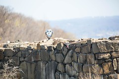 840A3664 (rpealit) Tags: bird nature turkey scenery state wildlife lookout line vulture