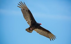 840A3668 (rpealit) Tags: bird nature turkey scenery state wildlife lookout line vulture