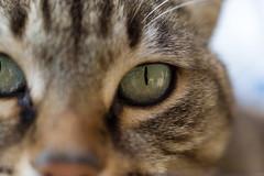 (Albuzzzzzz) Tags: macro eye cat eyes nikon occhi gatto occhio 3100 d3100 nikond3100 albuzzzzzz