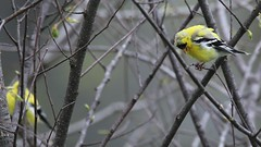 Pair of Bright Yellow Finches (Totally Realistic Visionz) Tags: bird nature birds spring michigan finch birdwatching yellofinch