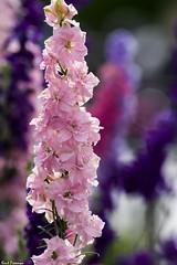 Disneyland Flowers (Kent Freeman) Tags: ed pentax disneyland 300mm da sdm if smc f4 k3 pentaxda