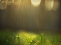 Enlightened (Shelby's Trail) Tags: light sun grass backyard bokeh burst ~ hcs clichesaturday