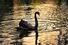 black Swan (cosovan.vadim) Tags: lake black bird nature water reflections swan nikon waves sigma d750 70300mm